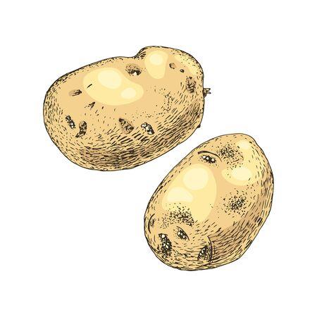 Hand drawn potato on white