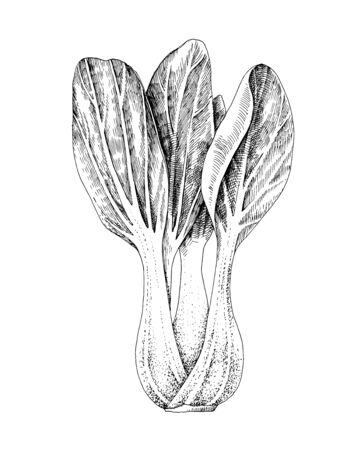 Hand drawn bok choy isolated on white