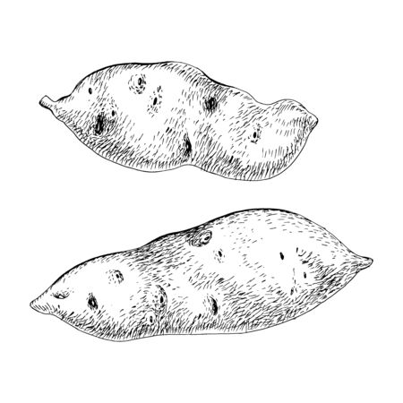 Hand drawn sweet potato isolated on the white