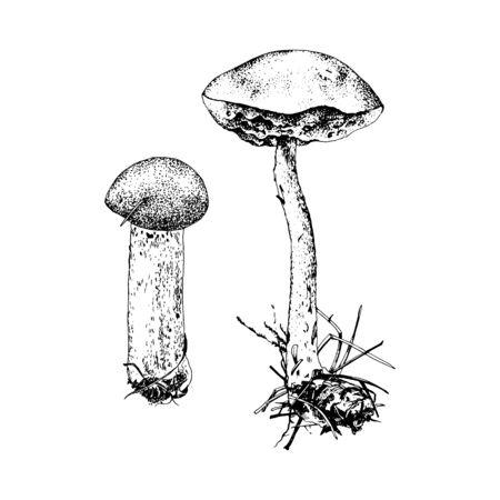 Hand drawn birch bolete mushroom