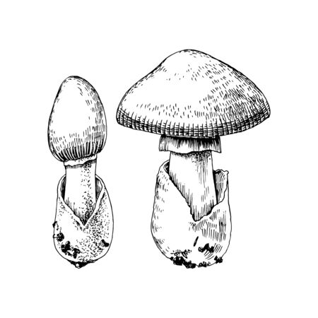 Hand drawn amanita caesarea mushroom