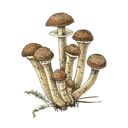 Hand drawn honey fungus