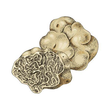 Hand drawn white truffle or tuber magnatum