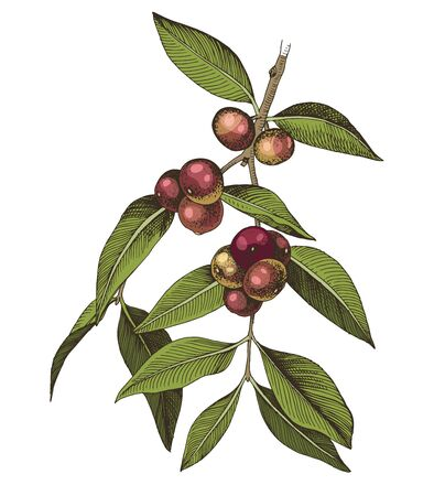 Hand drawn colorful camu camu branch with berries and leaves. Ilustração
