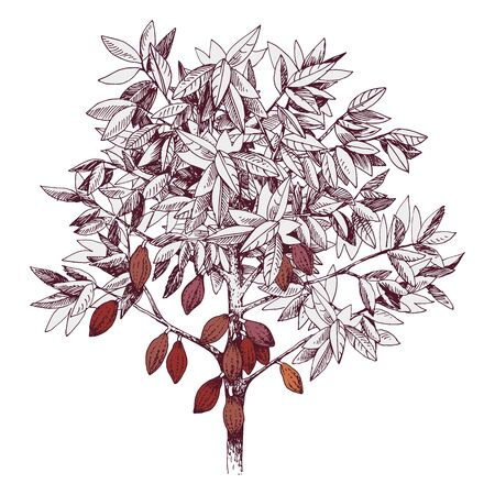 Hand drawn cocoa tree with ripe fruits. Vector illustration