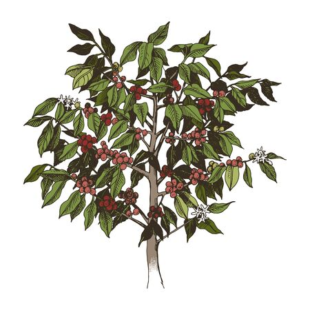 Young arabica coffee tree with flowers and beans isolated on white