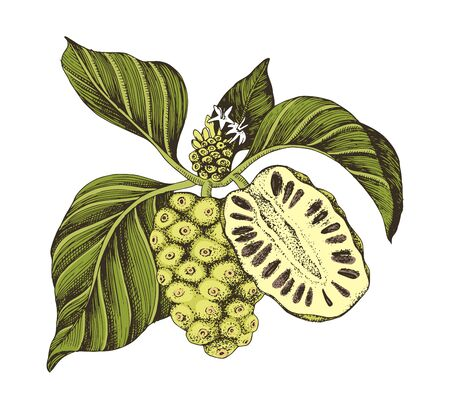Hand drawn vector colorful noni branch. Superfood. Vector illustration in retro style. Illustration