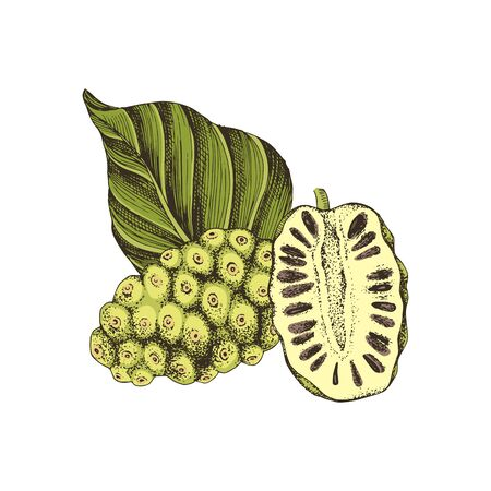 Hand drawn colorful vector noni fruit with half and leaf. Superfood. Vector illustration in retro style.