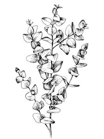 Hand drawn baby blue eucalyptys branch. Vector illustration.