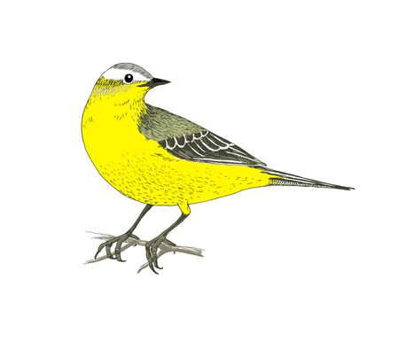 Hand drawn colorful Yellow Wagtail. Sketched vector illustration 向量圖像