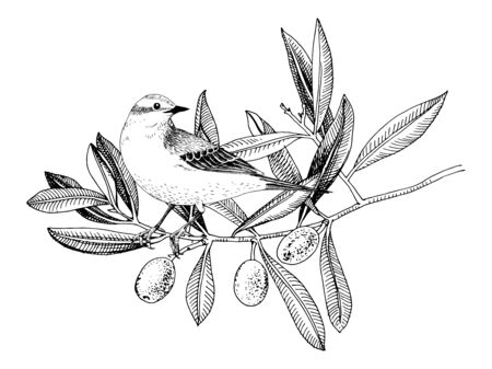 Hand drawn Yellow Wagtail sitting on the olive tree branch. Black and white vector illustration