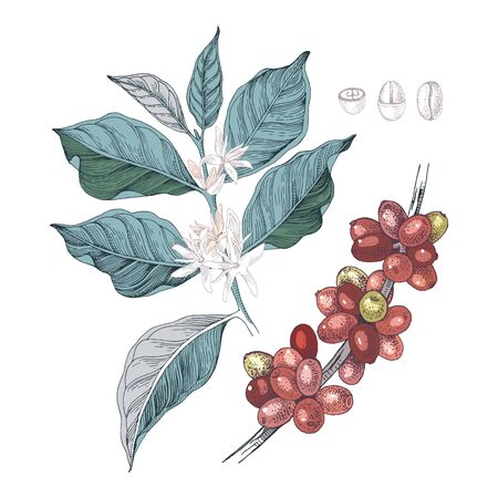 Colorful hand drawn illustration of Coffee branches with seeds, fruits and flowers. Vector illustration in retro style