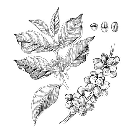 Hand drawn illustration of Coffee branches with seeds, fruits and flowers. Sketched coffee plant
