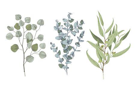 3 types of eucalyptus on white