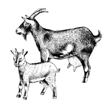 Hand drawn goat with goatling. Farm animals familie.
