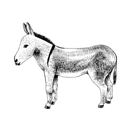 Hand drawn donkey. Farm animal