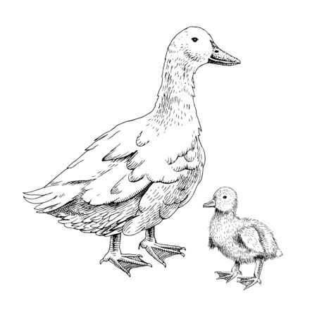 Hand drawn domestick duck and duckling