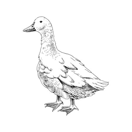 Hand drawn domestick duck Illustration