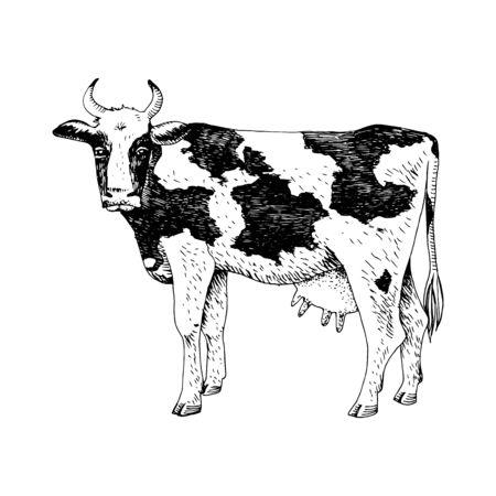 Hand drawn cow. Farm animal. Vektoros illusztráció