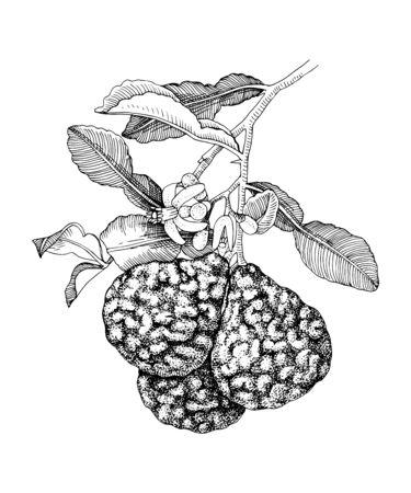 Hand drawn bergamot blooming branch with ripe fruits Иллюстрация