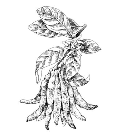 Blooming hand drawn Buddha s fingers citron branch with ripe fruit. Monochrome sketch. Hand drawn vector illustration Иллюстрация