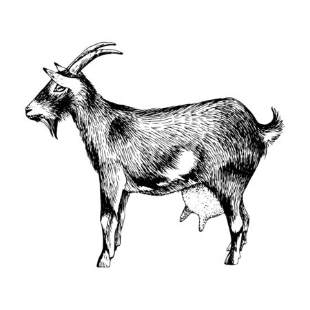 Hand drawn goat. Farm animal.