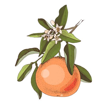 Hand drawn blooming grapefruit branch with ripe fruit. Colorful hand drawn vector illustration