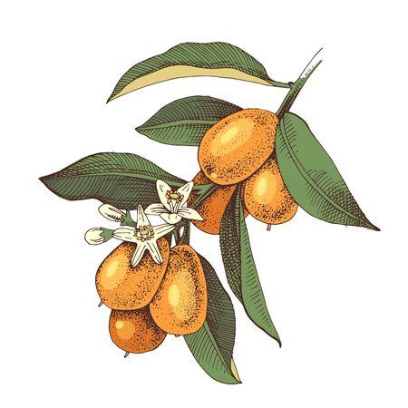 Hand drawn blooming kumquat branch with ripe fruits. Colorful hand drawn vector illustration Иллюстрация