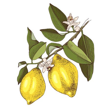 Hand drawn blooming lemon branch with ripe fruits