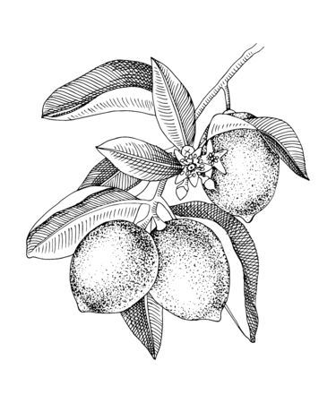 Hand drawn blooming lime branch with ripe fruits. Monochrome sketch. Hand drawn vector illustration