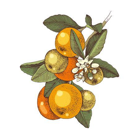 Hand drawn blooming tangerine - mandarin - branch with ripe fruits Vetores
