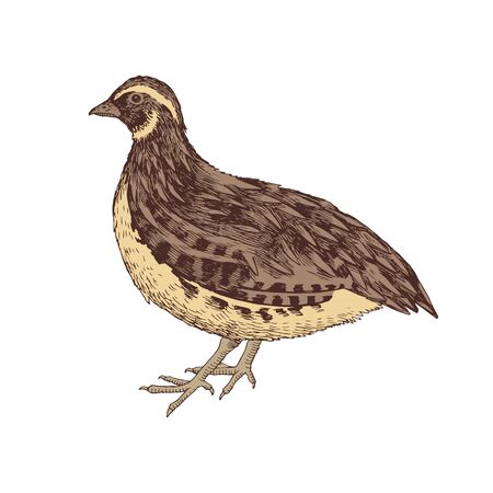 Hand drawn quail. Poultry. Vector illustration in retro style