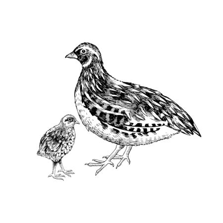 Hand drawn quail familie. Poultry. Vector illustration in retro style