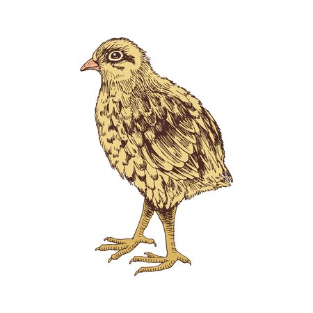 Hand drawn baby quail