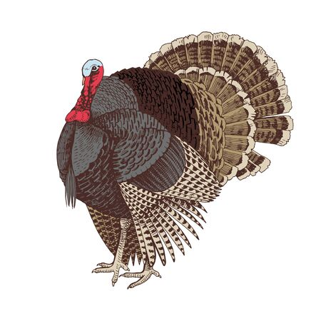 Hand drawn turkey.