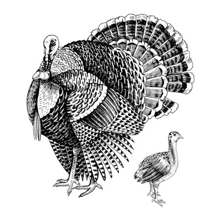 Hand drawn turkey and poult. Illustration