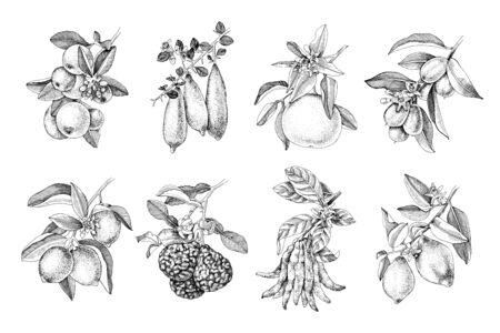 Monochrome hand drawn citrus fruits branches. 8 plants - tangerine, finger lime, grapefruit, kumquat, lime, bergamot, citron Buddah s hand, lemon. Vector illustration in retro style.