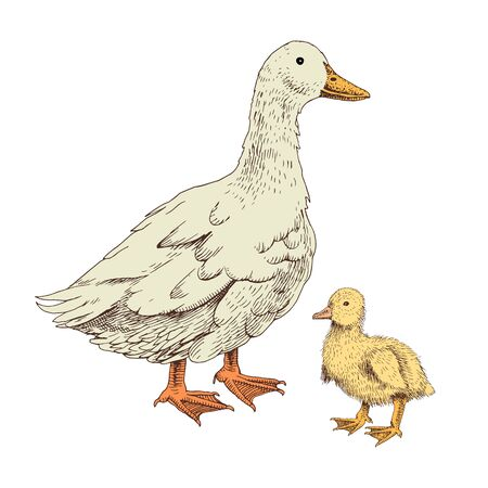 Hand drawn domestick duck and duckling. Poultry. Vector illustration in retro style