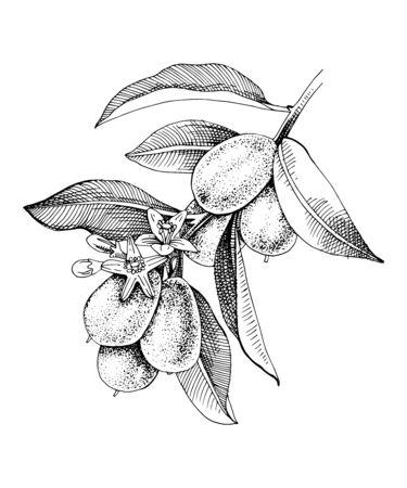 Hand drawn blooming kumquat branch with ripe fruits. Monochrome sketch. Hand drawn vector illustration Иллюстрация