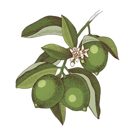 Hand drawn blooming lime branch with ripe fruits. Colorful hand drawn vector illustration