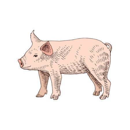 Hand drawn piglet. Farm animal. Vector illustration in retro style