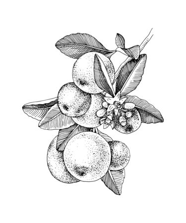 Hand drawn blooming tangerine - mandarin - branch with ripe fruits. Monochrome sketch. Hand drawn vector illustration Vetores