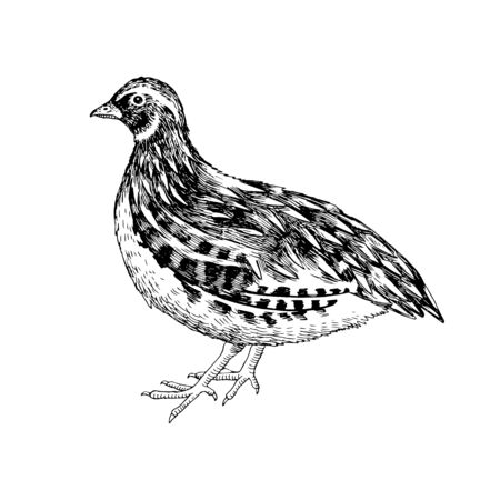 Hand drawn quail. Poultry. Vector illustration in retro style Ilustracje wektorowe