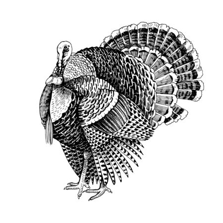 Hand drawn turkey. Poultry. Vector illustration in retro style.