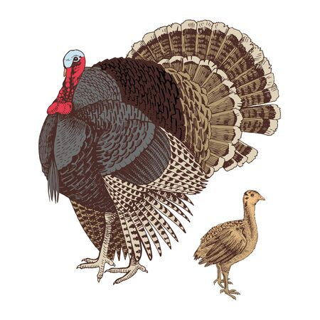 Hand drawn turkey and poult. Poultry. Vector illustration in retro style. Illustration