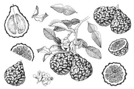 Hand drawn bergamot collection