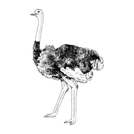 Hand drawn Ostrich Emu Illusztráció