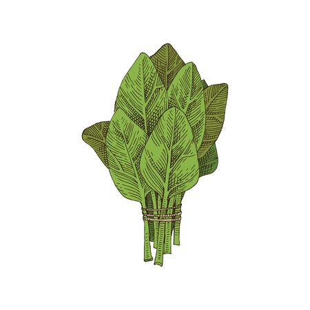 Hand drawn spinach bunch