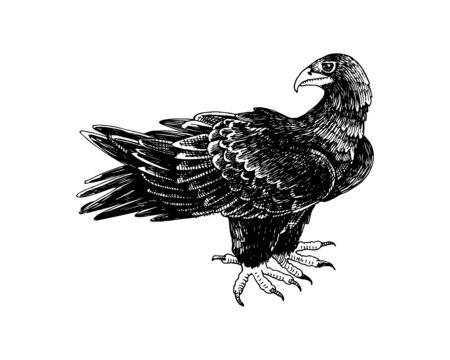 Hand drawn black eagle - Aquila verreauxii. Ilustración de vector