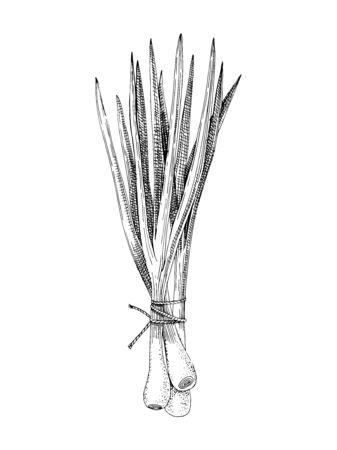 Hand drawn spring onions bunch